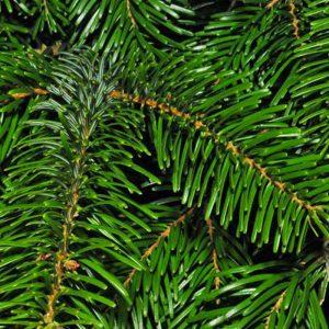 Božićna drvca - Nordijska jela