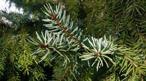 Božićno drvce Omorika
